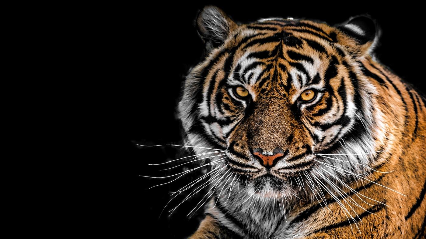 Az orvvadászat ellenére nő a szibériai tigrisek száma