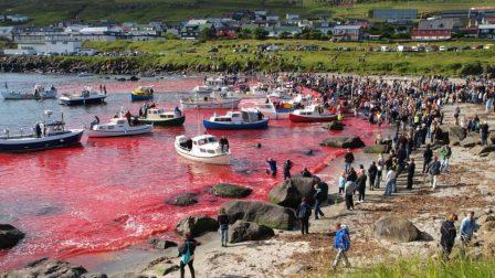 1000 éves véres hagyomány miatt ölik a delfineket a Feröer-szigeteken