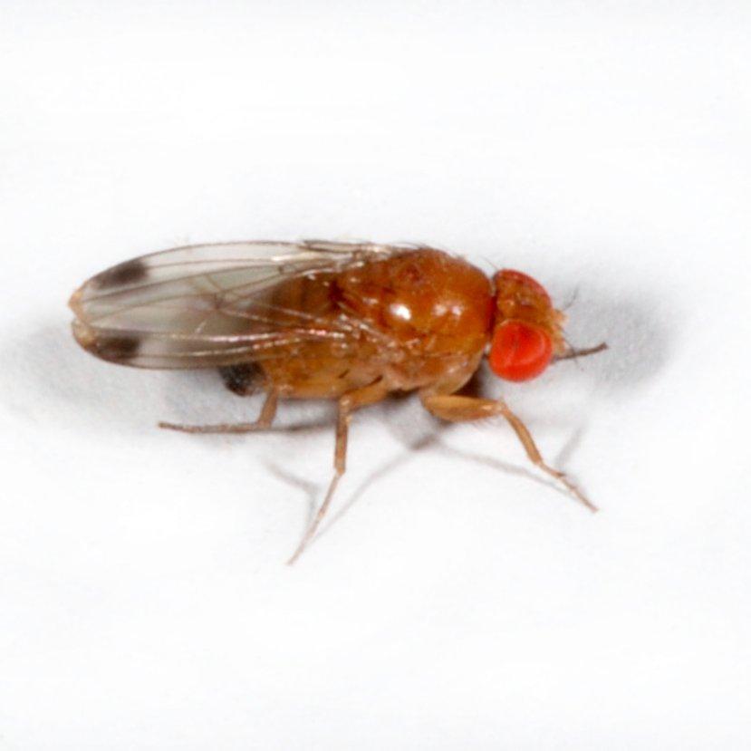 Invazív muslicafaj kezd gondokat okozni itthon is