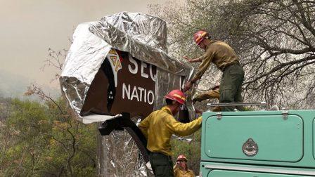 Tűzálló takaróval védik a gigászi mamutfenyőt