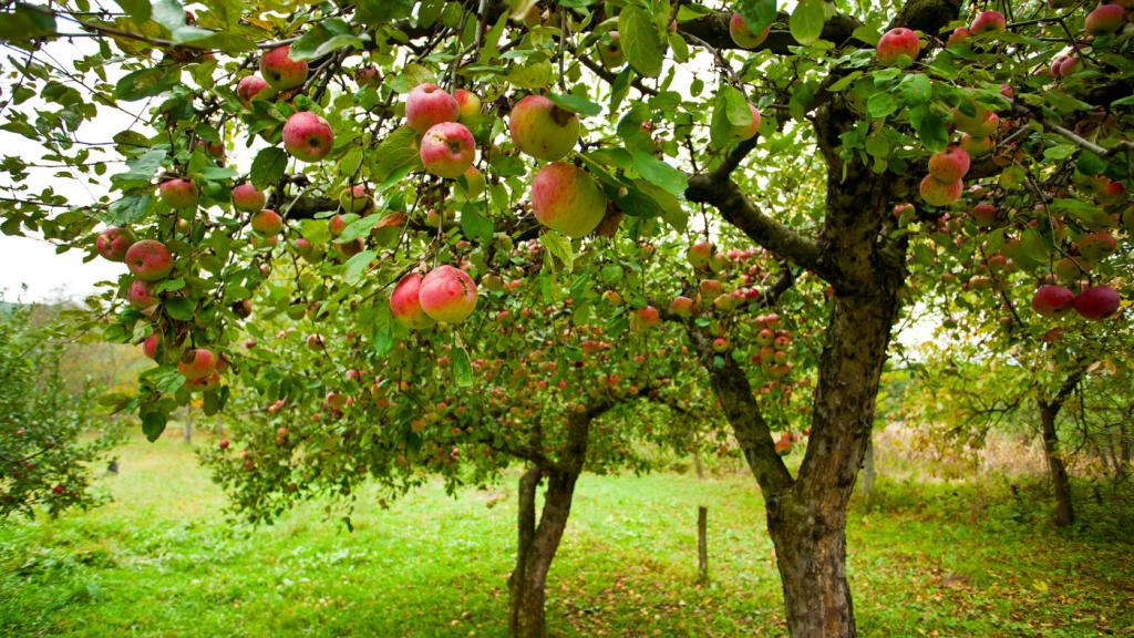 almafák
