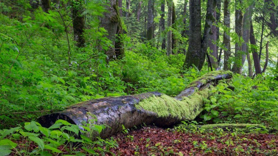 erdő holtfával