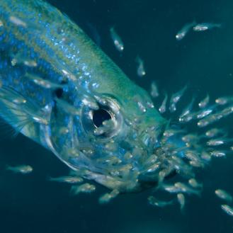 hal és kishalak