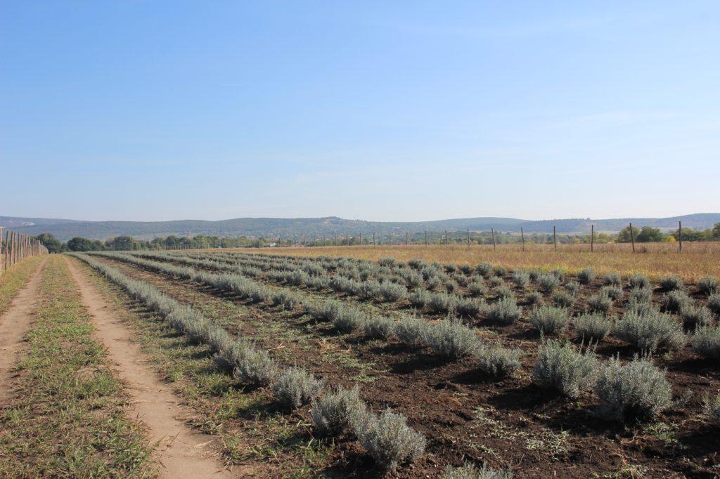 levendula ültetvény