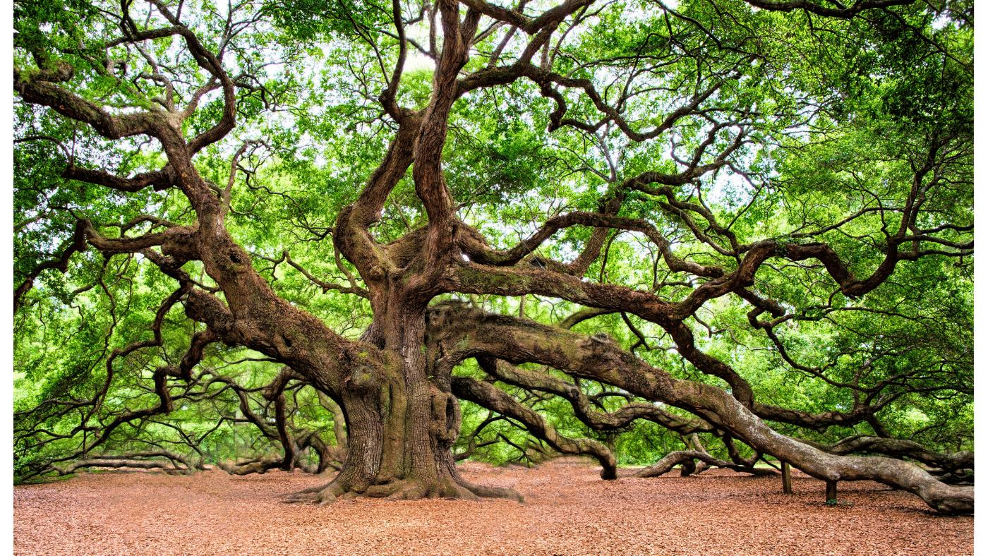 Az idősebb fák képesek megtanulni, hogyan növeljék a CO2-felvételüket